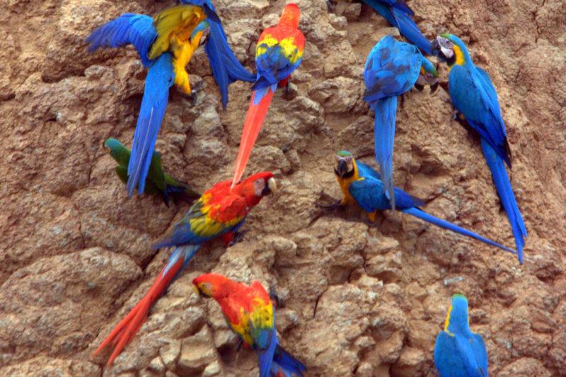 Macaws and Parrots in Puerto Maldonado Peru